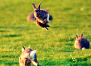 Rabbit meat making a comeback