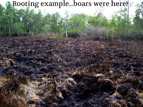 rooting wild hog