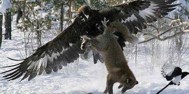 eagle vs wolf