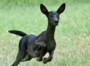 Black deer fawn